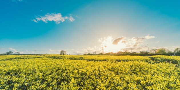 field-flowers-yellow-agriculture